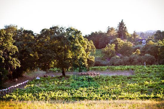 The-pinot-vineyard